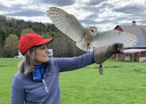Barn Owl coming to perch on Cheryl's gloved hand
